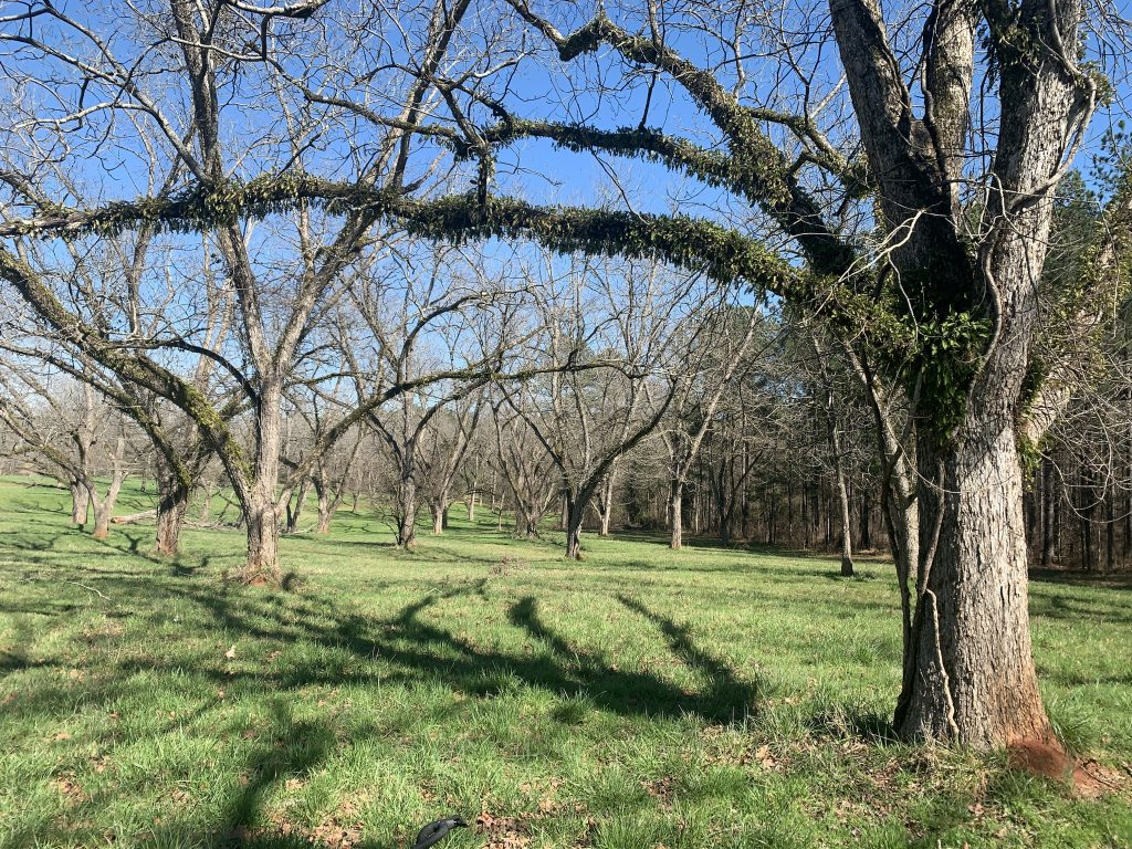 Pecan grove on the Red Clay Ramble route.